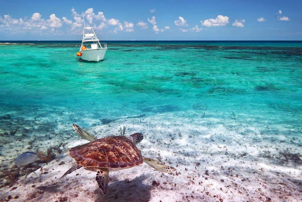 16 Best Things To do In Playa Del Carmen: Green Turtle in the Water