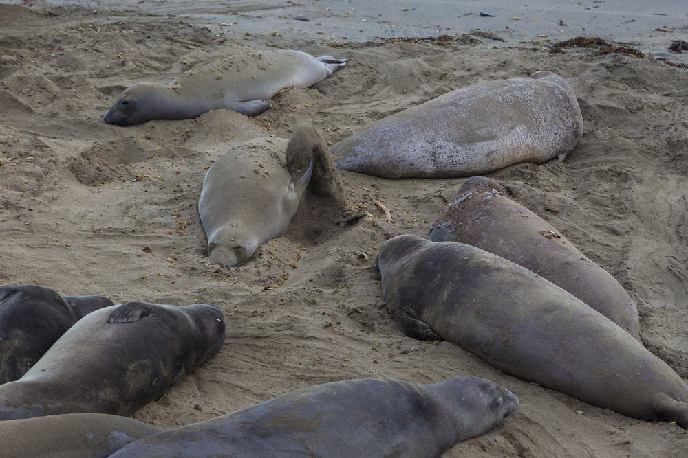Best Things To Do In Half Moon Bay: Seals laying on the beach