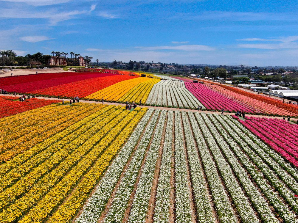 14 Best Things To Do In Carlsbad: The Flower Fields
