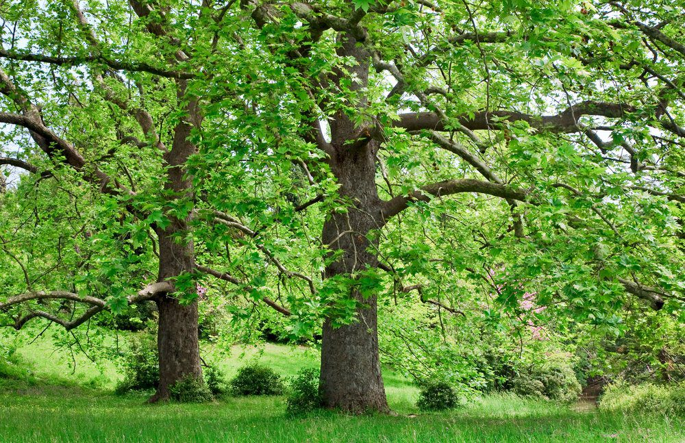 Things To Do In Livermore: Sycamore Park Trees