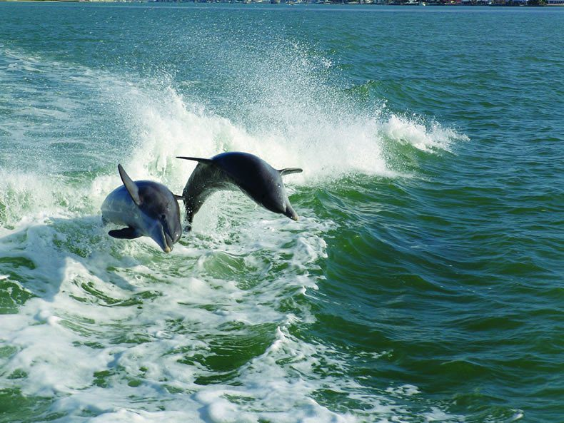Things To Do In San Marco Island: Jumping dolphins Marco Island