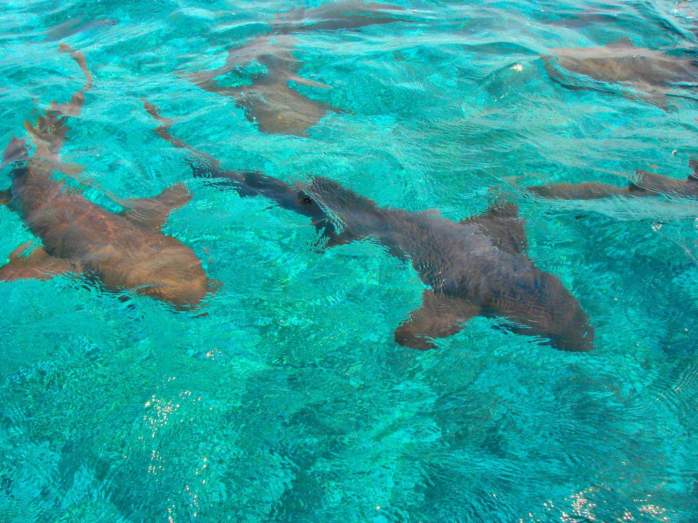 14 Best Things To Do In San Pedro Belize: Swimming With Sharks