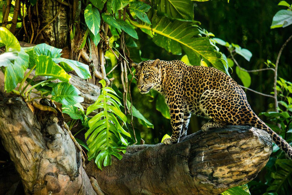 Things To Do In Bali: Leopard